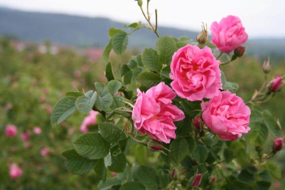 Вълшебните свойства на розата