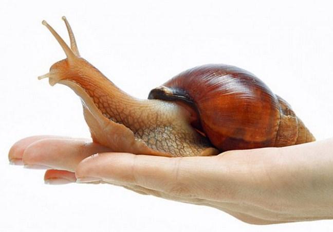 Лек от природата: Компрес с охлюви за премахване на шипове